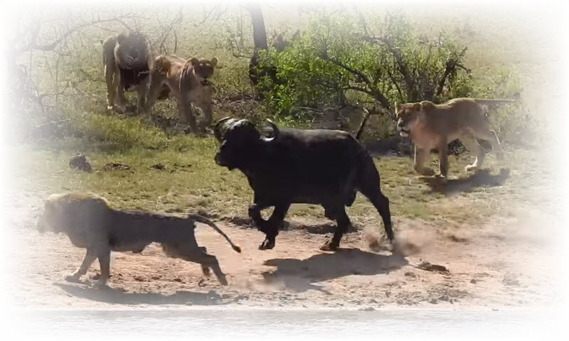 kruger-lions-buffalo-crocodile